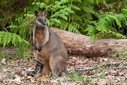 Swamp Wallaby with Joey