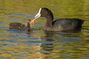 Eurasian Coot and Chick