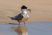 Crested Tern with fish