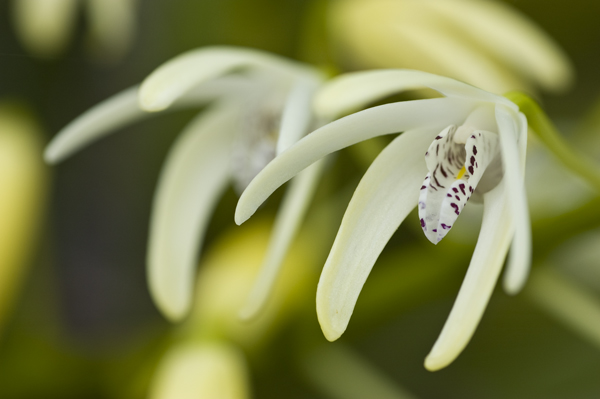 King Orchid