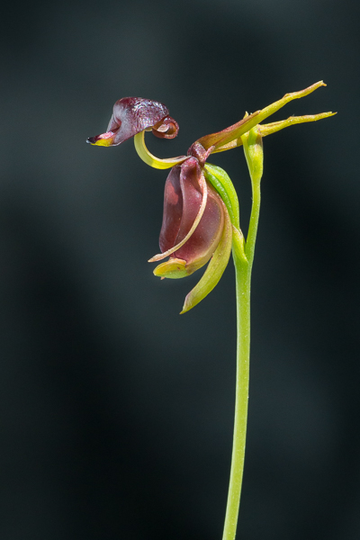 Duck Orchid
