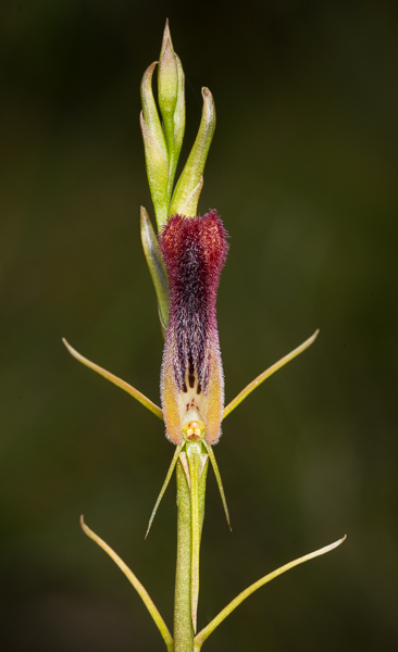 Leafless Tongue Orchid