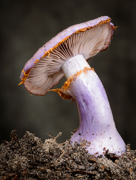Cortinarius archeri